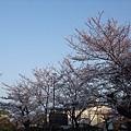 清水寺 -- 櫻花 (12)