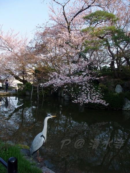 清水寺 -- 櫻花 (14)