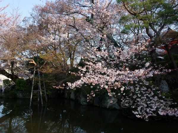 清水寺 -- 櫻花 (15)