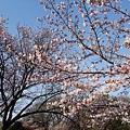 清水寺 -- 櫻花 (17)