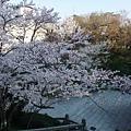 清水寺 -- 櫻花 (20)