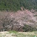 大原 -- 櫻花 (2)