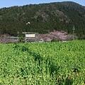 大原 -- 油菜花田