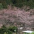 大原 -- 櫻花 (4)