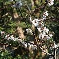 三千院 -- 櫻花