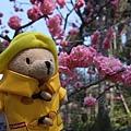 三千院 -- 柏寧頓小熊與梅花