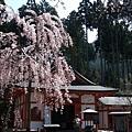 三千院 -- 殿前櫻花