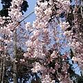 三千院 -- 櫻花 (1)