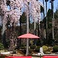 三千院 -- 櫻花 (2)