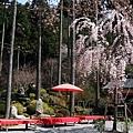 三千院 -- 櫻花 (3)