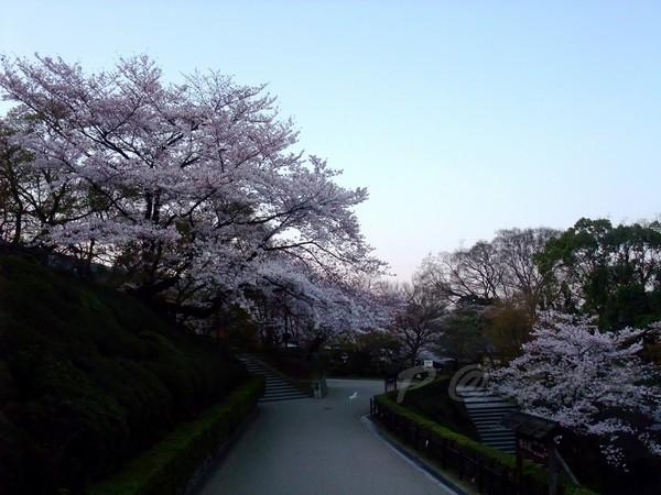 清水寺 -- 櫻花 (2)