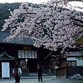 清水寺 -- 櫻花 (3)
