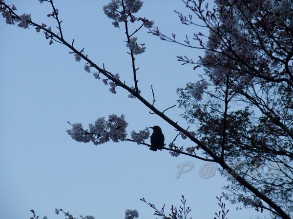 清水寺 -- 櫻花枝上的小鳥