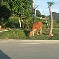 路邊都會有牛~