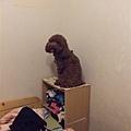 把狗困在櫃子上好好笑