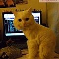 咩咩爬到我電腦前坐著