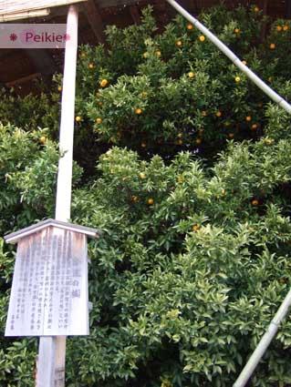 平安神宮前的右進之橘