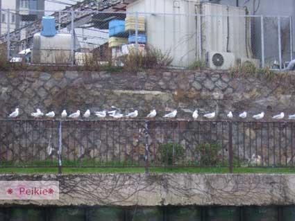 大阪城水上巴士行駛間旁邊欄杆站滿了鴿子嗎?
