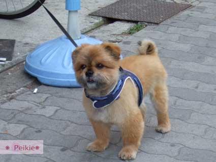 大阪-十三站附近可愛的犬,想帶回家,可是是中年大叔養的