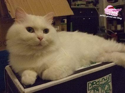 箱子貓.jpg