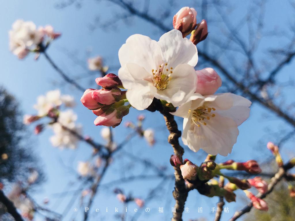 210803福岡追櫻花。舞鶴公園西公園還有不知名的小公園