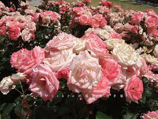 福岡市植物園玫瑰花展