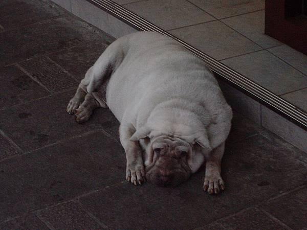 路邊跟我的皺皮狗娃娃很像的懶狗狗