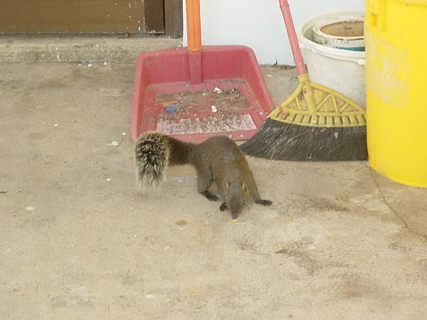 不怕人的松鼠,一直很迅速有點兇地向我跑來,害我一直往後