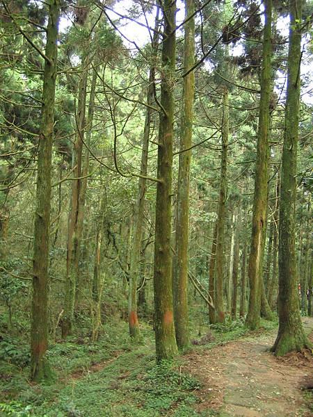 新資料夾-杉木林