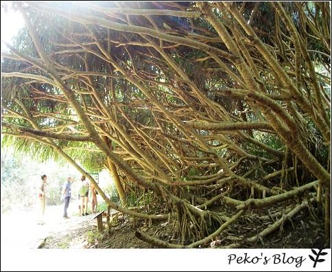 社頂公園-林投樹林.jpg