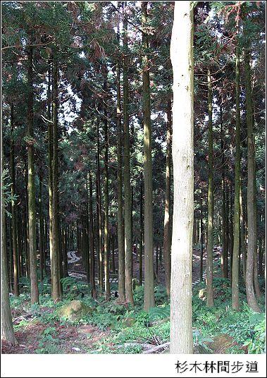 杉木林間步道.jpg