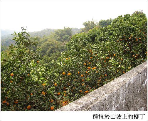種植於山坡上的柳丁.jpg