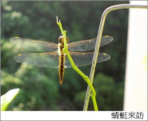 蜻蜓來訪.jpg