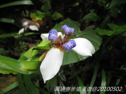 鳶尾花-1.jpg