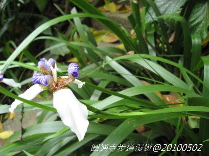 鳶尾花-3.jpg