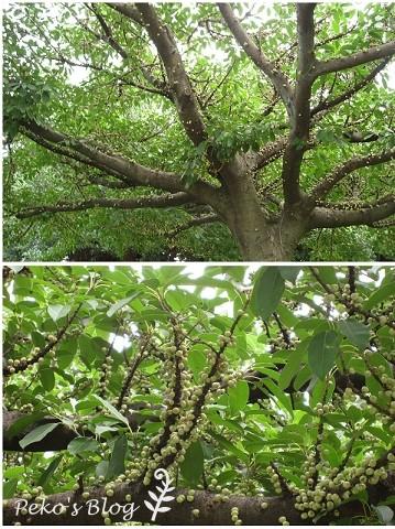 長滿小綠豆的樹.jpg