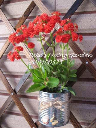 紅色重瓣長壽花.jpg
