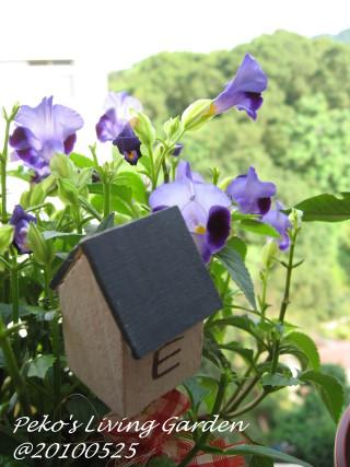 紫色夏堇.jpg