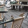 很多麻雀覬覦我們的早餐
