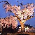 日本百年的櫻花樹