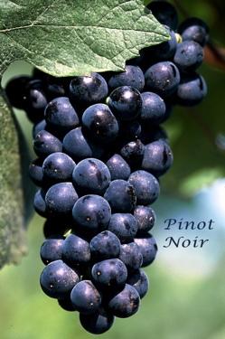 Pinot Noir 黑皮諾