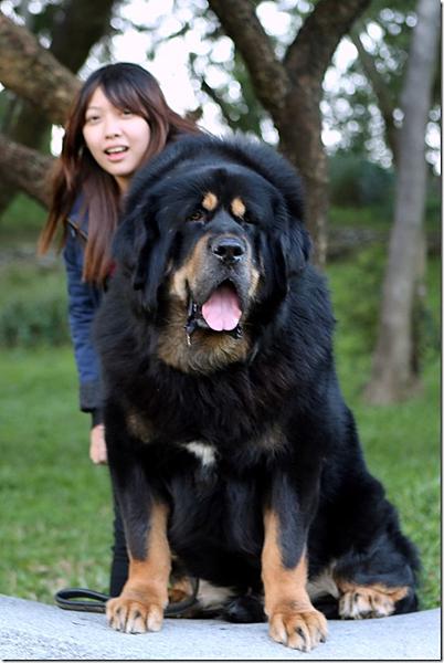 西藏獒犬_天寶