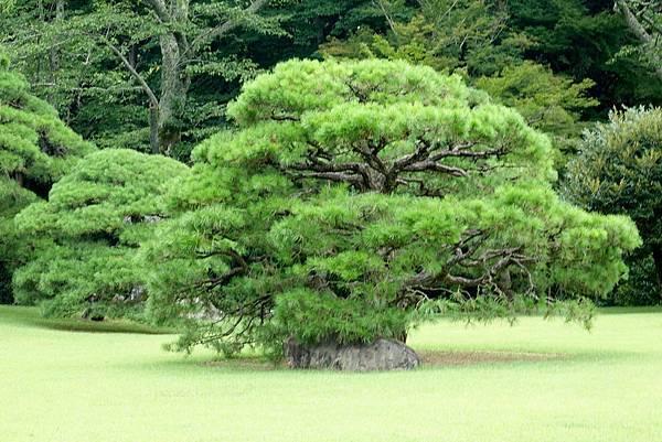 伊勢神宮的松樹.jpg