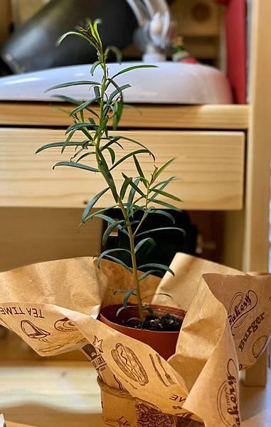 小茶樹.jpg