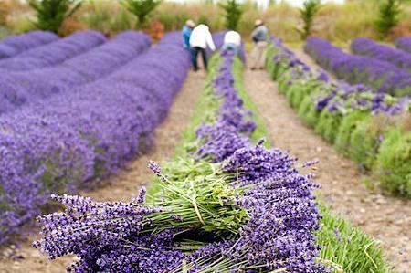 法國薰衣草24
