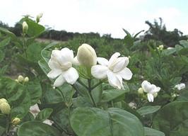 茉莉花園3