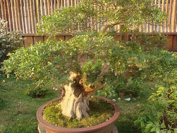 養生館的樹170年七里香2