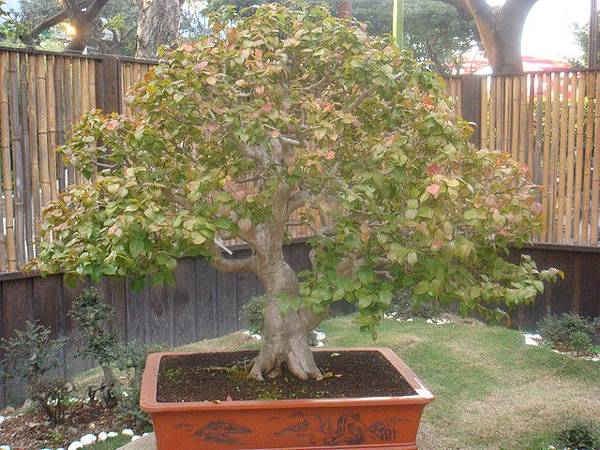 養生館的樹八角櫻桃70年