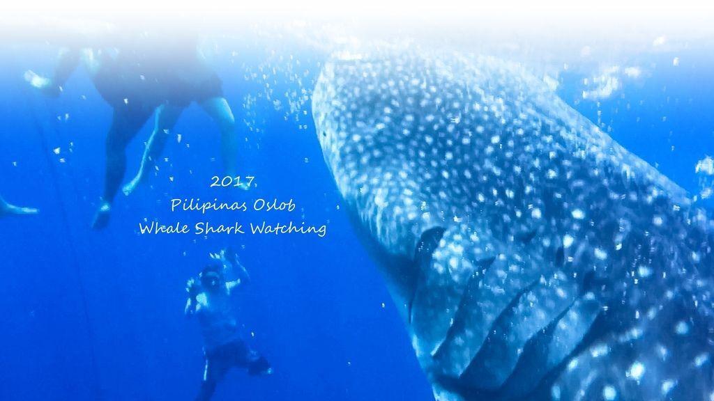 Oslob鯨鯊