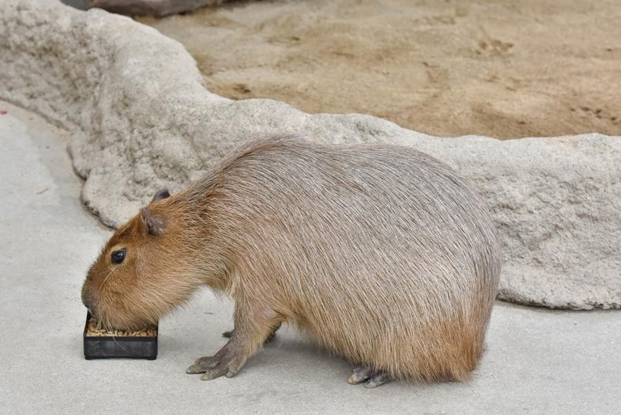 神戶動物王國水豚